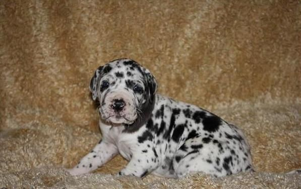Great Dane Puppies For Sale In Johannesburg Johannesburg 1500