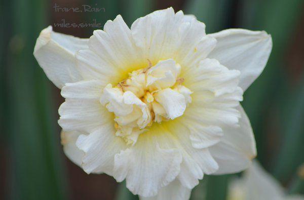 #FLOWERS |  #WHITE | (Source:  trane.Rain☆繋がって今 (@maroomkusu) | Twitter  |  27 April 2016 |  THIS Post: 01 May 2016 (Monday)