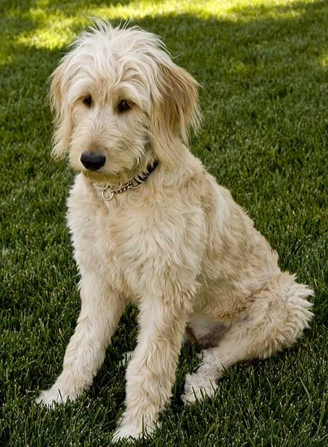 labradoodle growth chart: Growth chart for goldendoodles poo poos and doodles pinterest