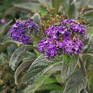 Zimmerpflanzen Sonniger Standort vanilleblume nachtduftend sonniger standort blüht juni bis
