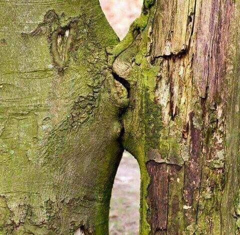 Trees kissing