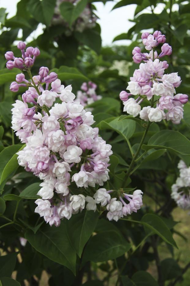 Maj W Ogrodzie Bzy Lilaki Kwitna W Maju Zdjecia Kwitnacych Bzow Plants