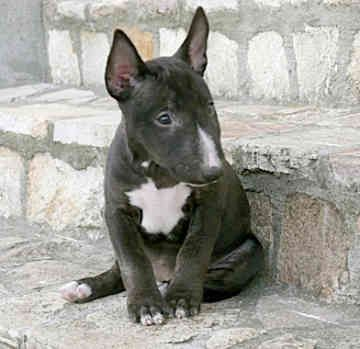 Miniature Bull Terrier Rescue With