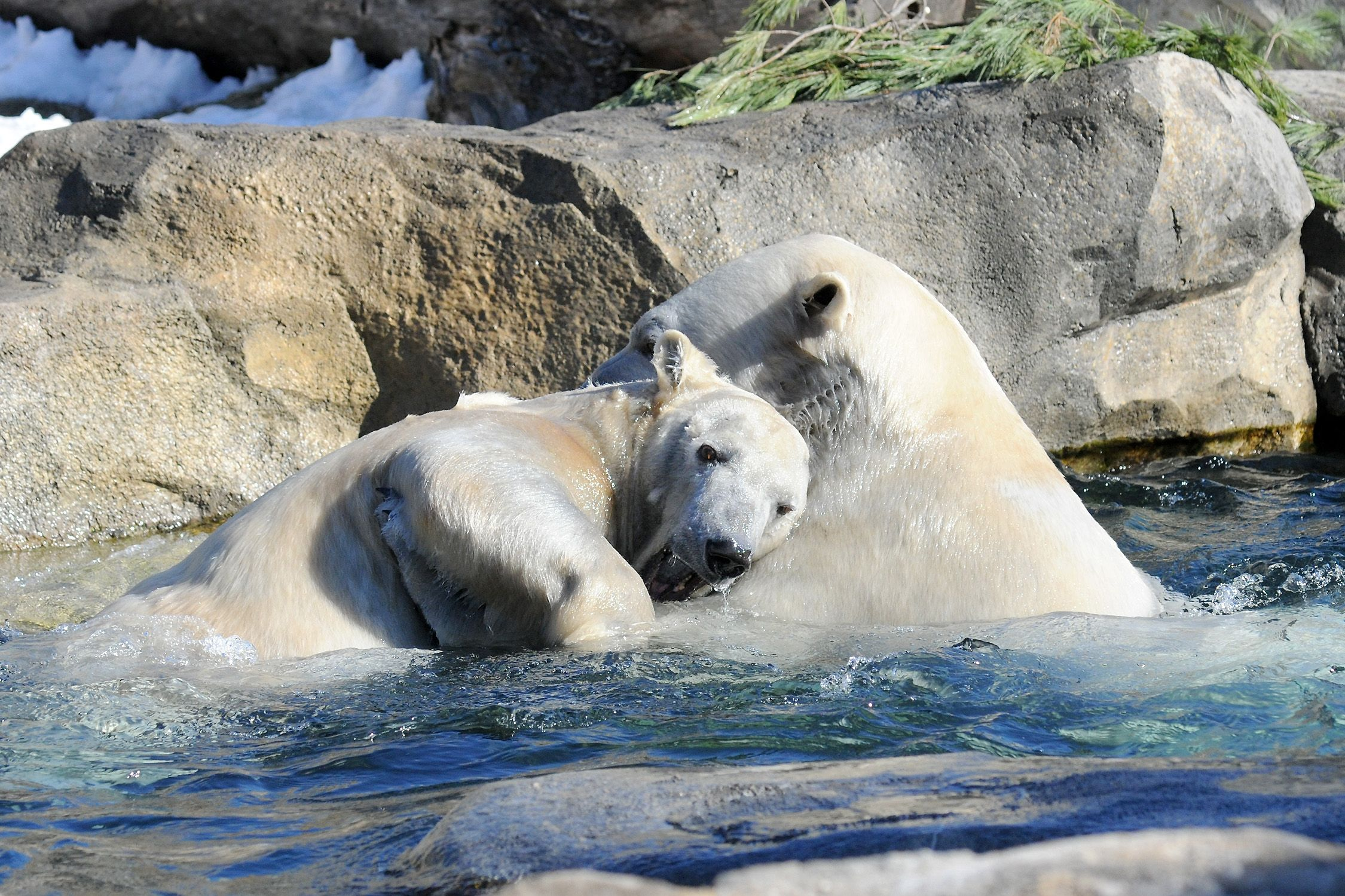 Polar Bears Anana And Hudson Playing In The Pool Visit Brookfield Zoo S Great Bear Wilderness Exhibit To Learn How You Can Hel Polar Bear Brookfield Zoo Polar