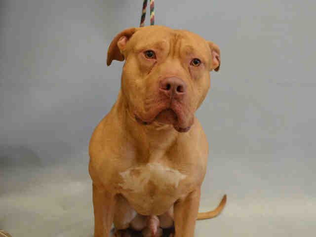 Ocean A1063379 Pitbulls Dog Adoption Animals