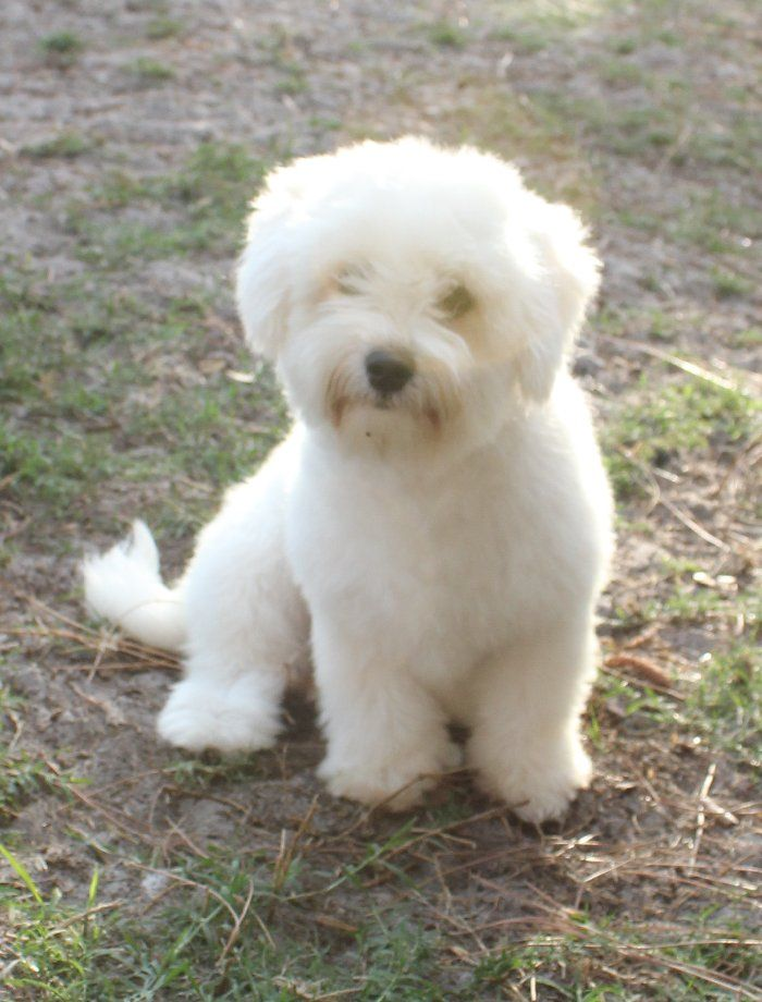 pin by jason dm on dogs puppies pinterest puppies coton de