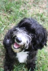 Adopt Oreo On Cockapoo Dog Poodle Mix Dogs Cockapoo