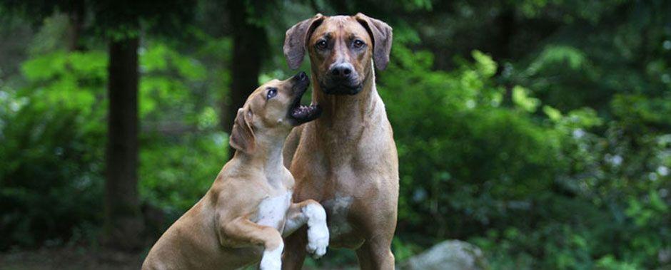 Photo From The Northwest Rhodesian Ridgeback Club Ridgebacks From Washington Oregon And Idah Rhodesian Ridgeback Rhodesian Ridgeback Puppies Beautiful Dogs