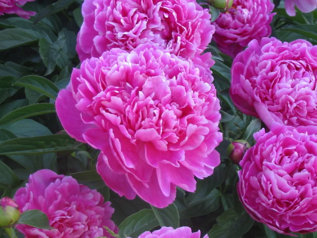 Favourite peony photo this photo was uploaded by stubblejumperscafe peony mightylinksfo Images