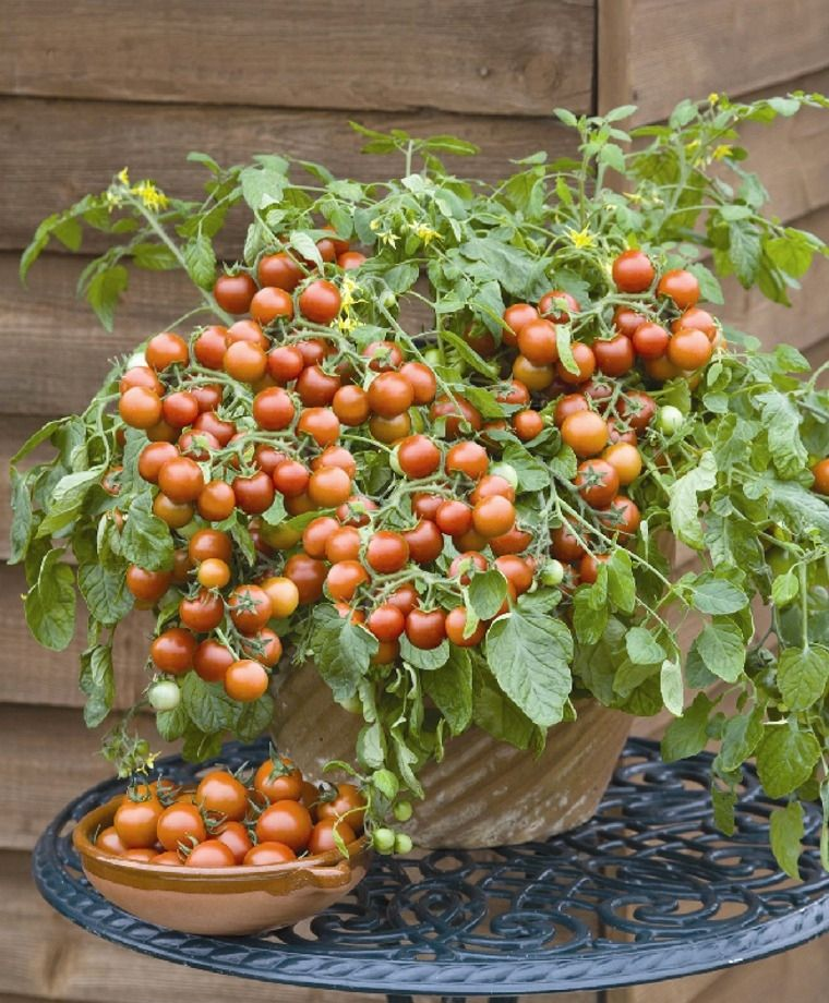 Cherry Falls Cherry Tomato Small Type Tomatoes Tomatoes Fruits Vegetables Garden Seeds Cherry Tomato Plant Vegetable Seed Tomato Seedlings