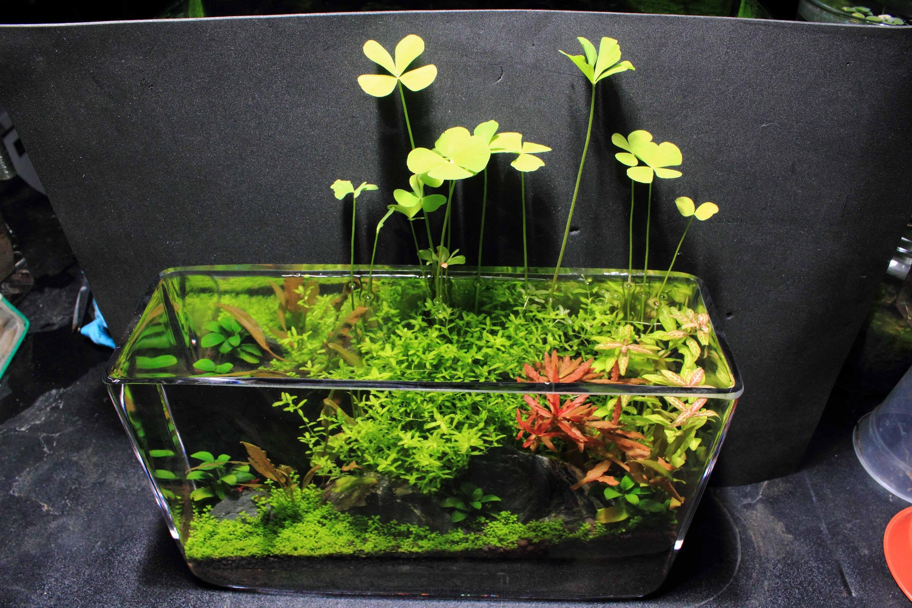 Low tech filterless tank tank ideas pinterest tech - Petit aquarium design ...