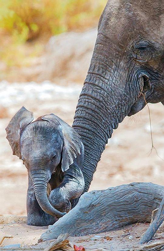Baby Ele And Caring Mum Hoanib Desert Elephants Elephant Baby Elephant Elephant Pictures