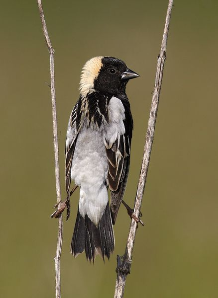 Bobolink The Happiest Bird Of Our Spring I Just Saw A Bobolink For The First Time As I Walked Through A New Hamp Beautiful Birds Pretty Birds Black Bird
