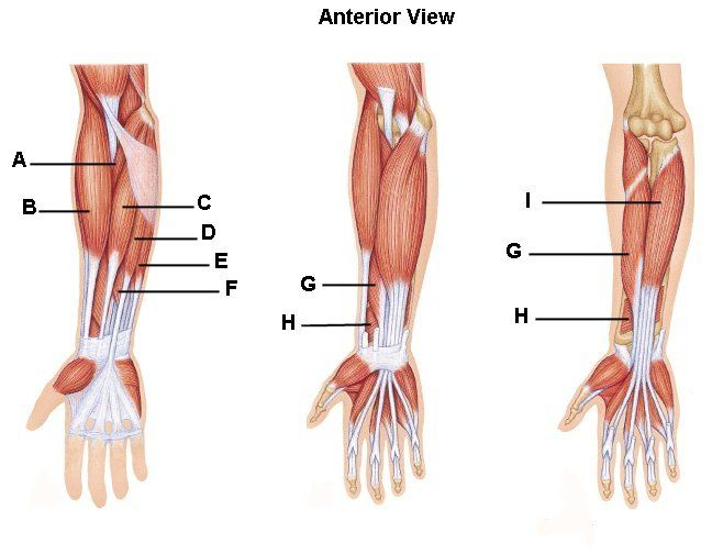 Wrist Anatomy Pictures Identify The Muscles Of The Forearm Please