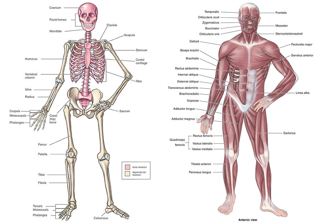Skeletal system and major muscles of the body anterior view