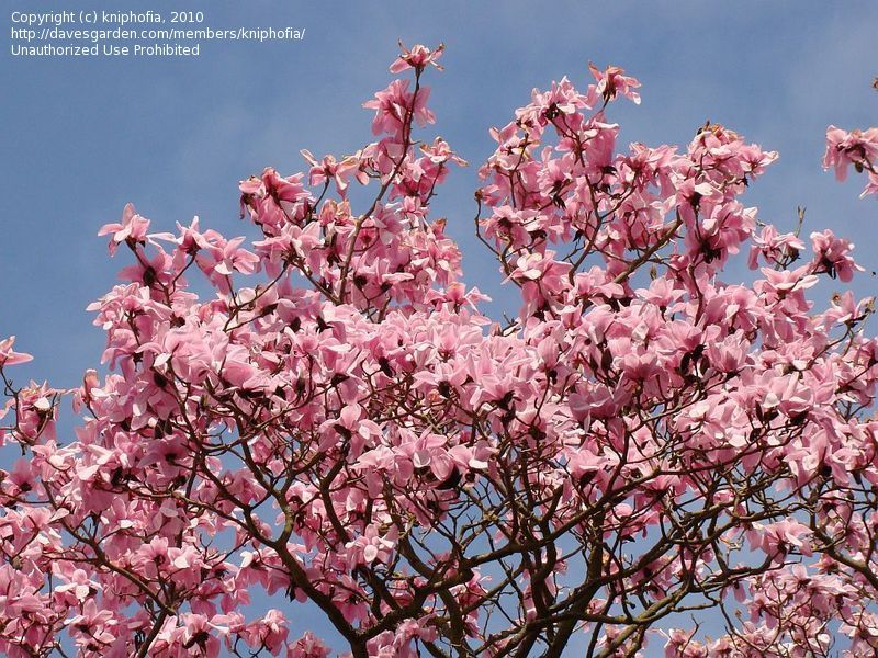 March 19 2012 This Beautiful Early Summer Type Weather Has All Of The Flowering Trees In Bloom Tulip Trees Magnolias D Pink Tulips Tulips Flowering Trees