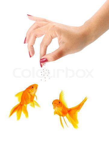 Stock image of 'Woman feeding goldfishes isolated on a white background'