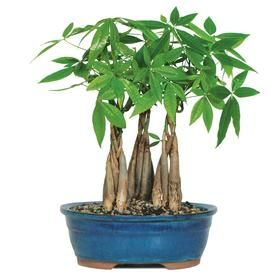 4 Inch Money Tree Grove In Pot Dt232mtg3 Dt2312mtg3 Products In