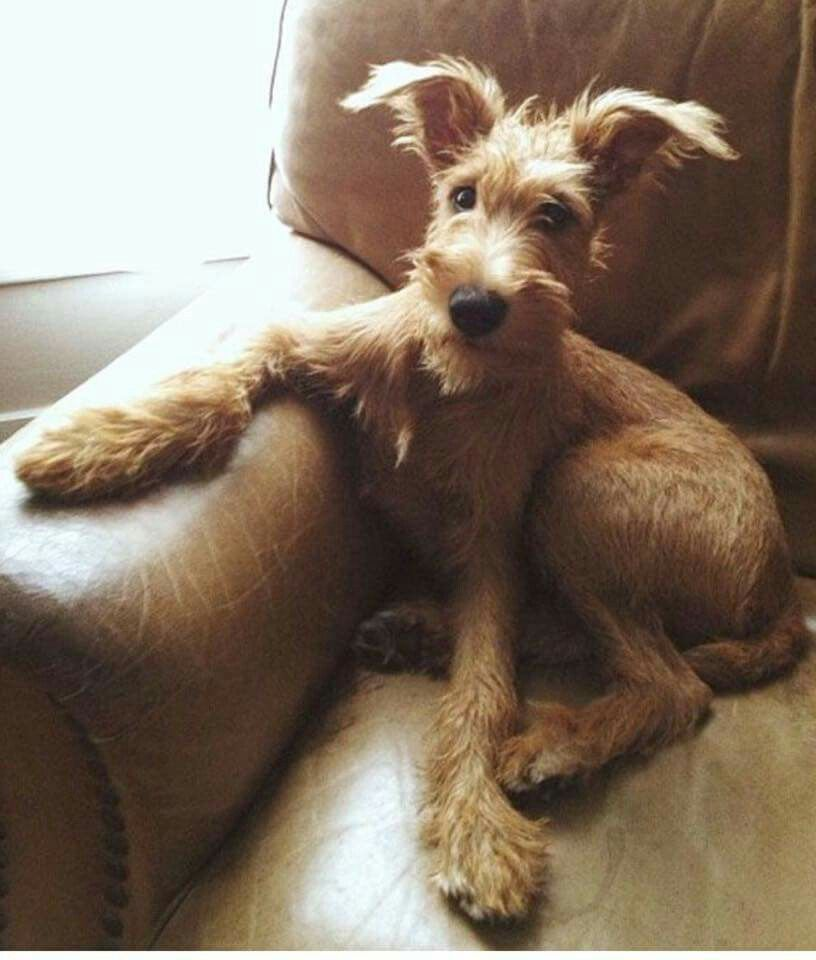 Possible Irish Terrier Lurcher Cross Looks Like A Hare So Cute