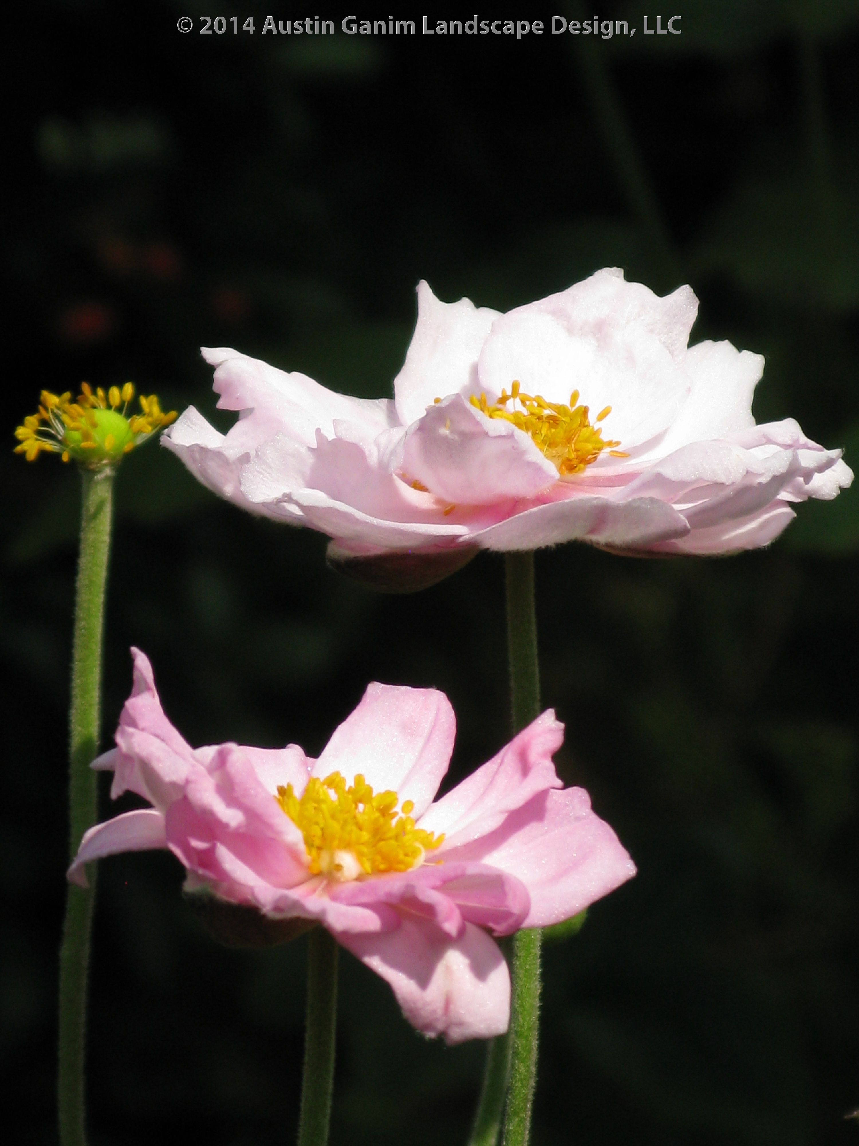 Anemone X Hybrida September Charm Light Pink Japanese Anemone