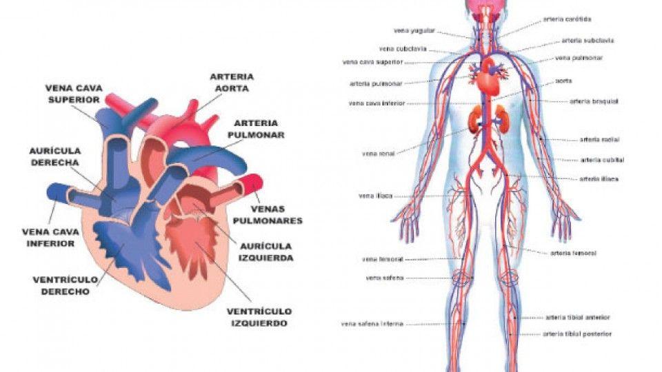Resultado de imagen de arterias del cuerpo humano | Anatomía para el ...
