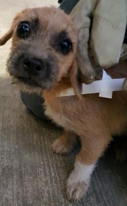 Animal Idt35640283 Rnspeciestdog Rnbreedtchihuahua Short Coat Mix Rnaget4 Months 1 Day Rngendertfemale Rnsizetsmall Rncolortbro Baby Dogs Dog Adoption Animals
