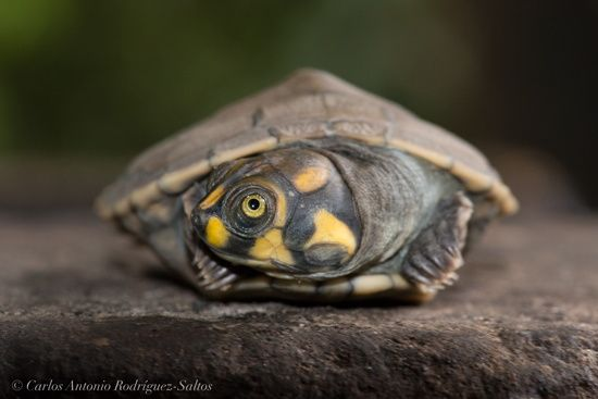 Yellow Spotted Sideneck Turtle Podocnemis Unifilis Turtle