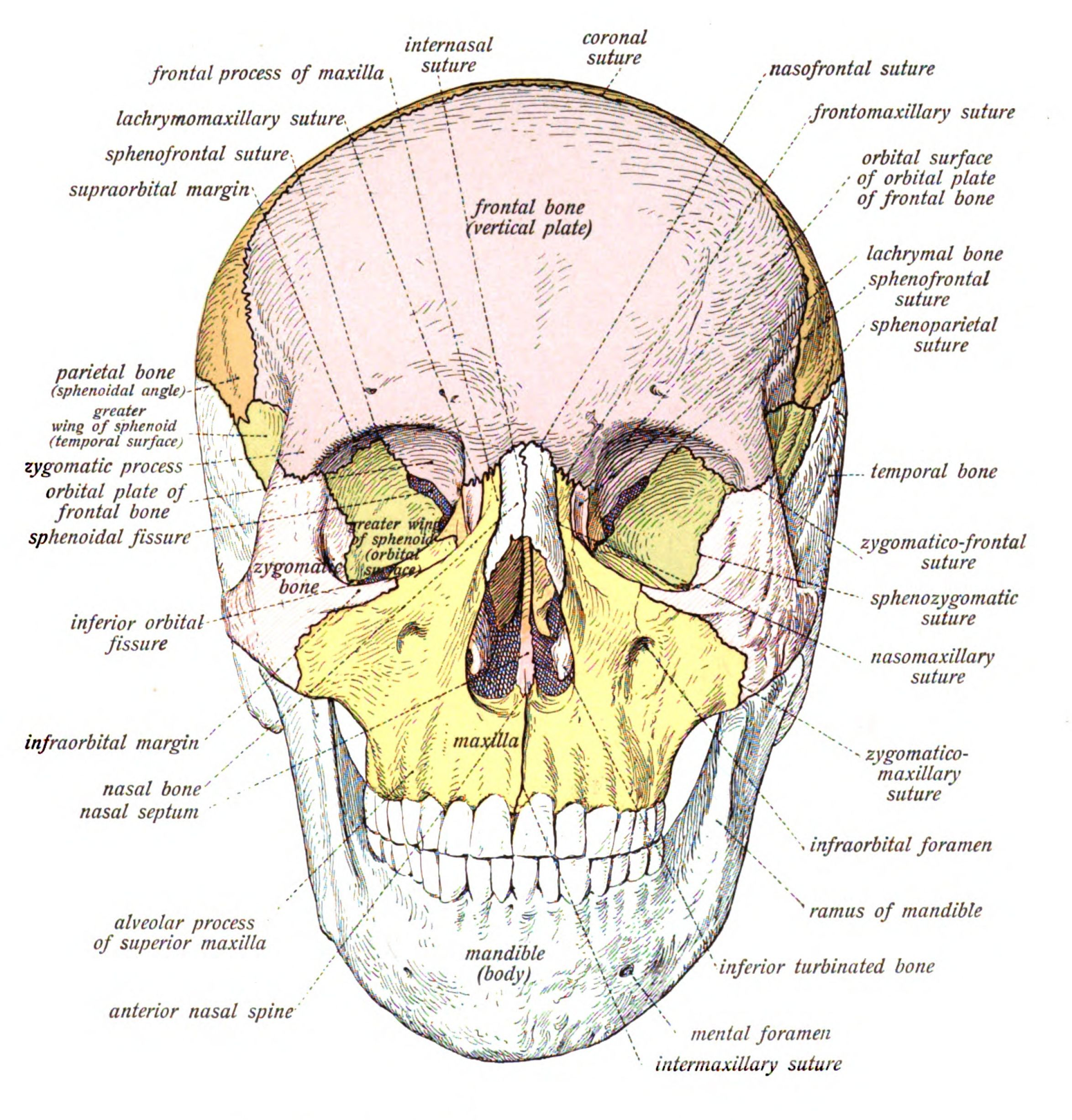 Facial structure | Forensic studies | Pinterest | Poster ...