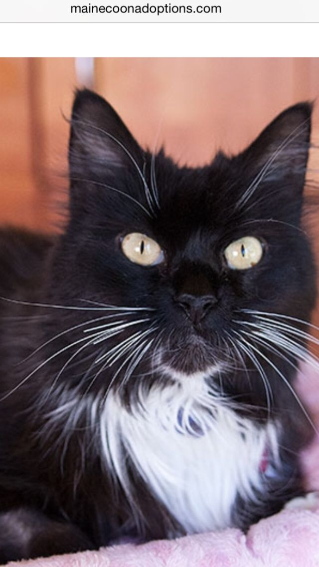 Yay, Claire, 11 years old, has been adopted!!MaineCoonAdoptions.com Oakland, CA