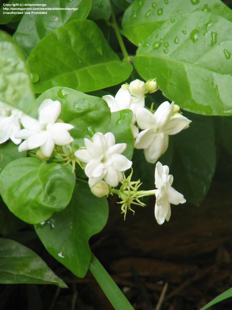 Pikake Plant Smell Beautiful Can String Lei S Outside