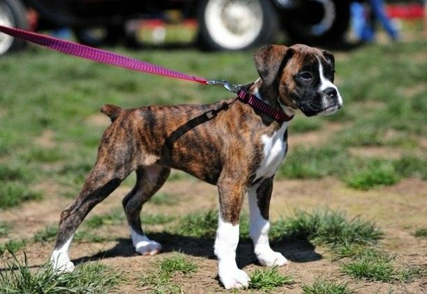 Brindle Boxer Pup Boxer Puppies Boxer Dogs Brindle Boxer Dogs