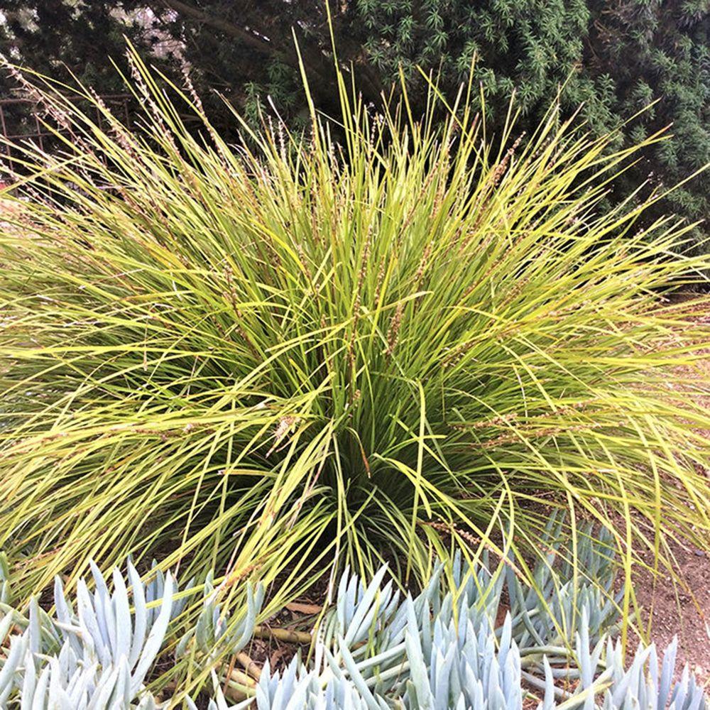 Drought Tolerant Ornamental Grasses Finegardening Ornamental Grasses Water Wise Landscaping Drought Tolerant Grass
