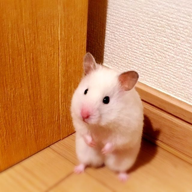Pin by Jodi Coughlin on Hamsters Funny hamsters, Cute