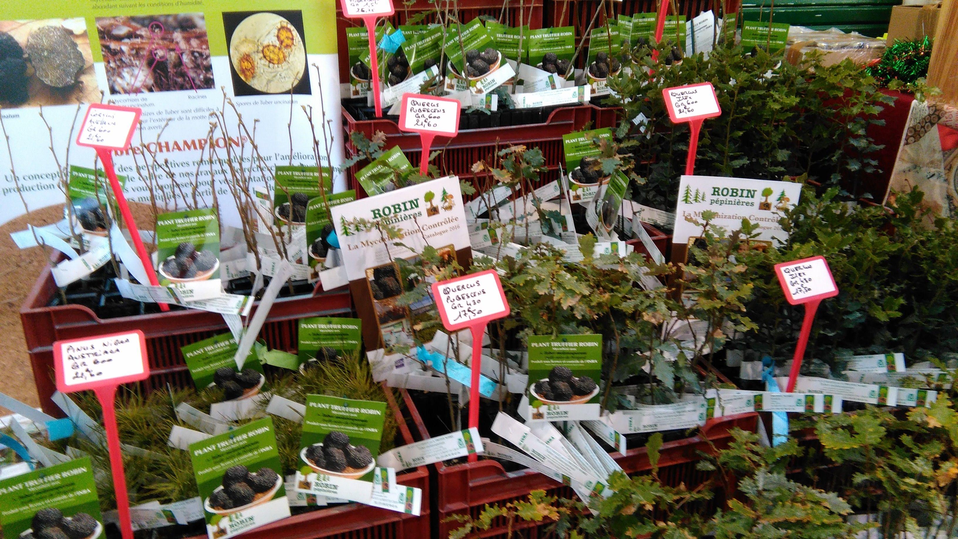 Truffe Plants Truffiers Robin Fªte de la truffe  Villeneuve sur