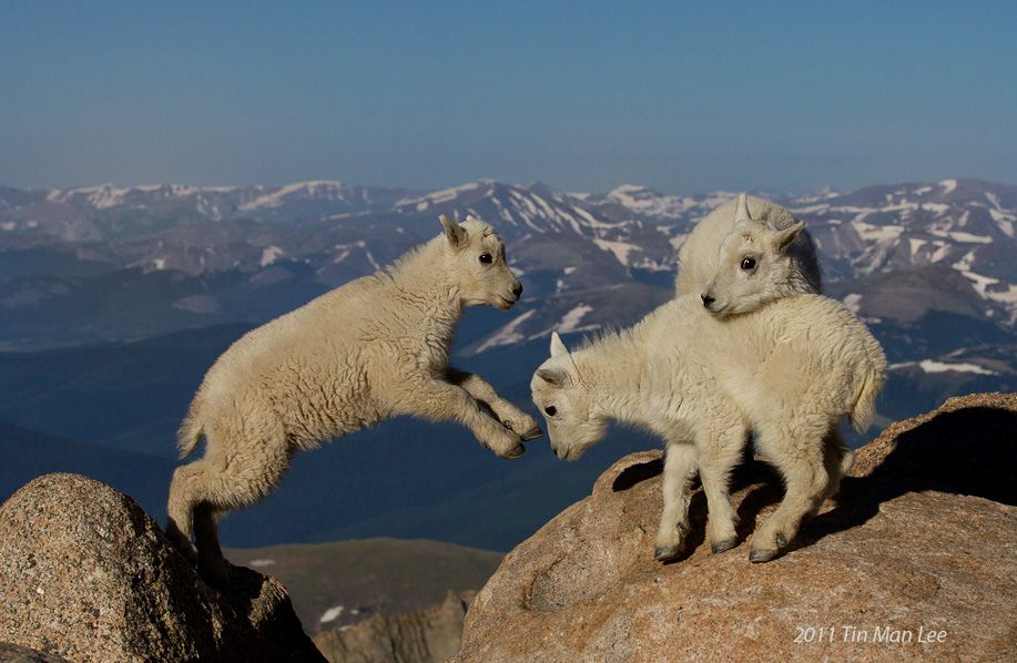 Mountain goat kids, Mount Evans, Colorado Cute baby