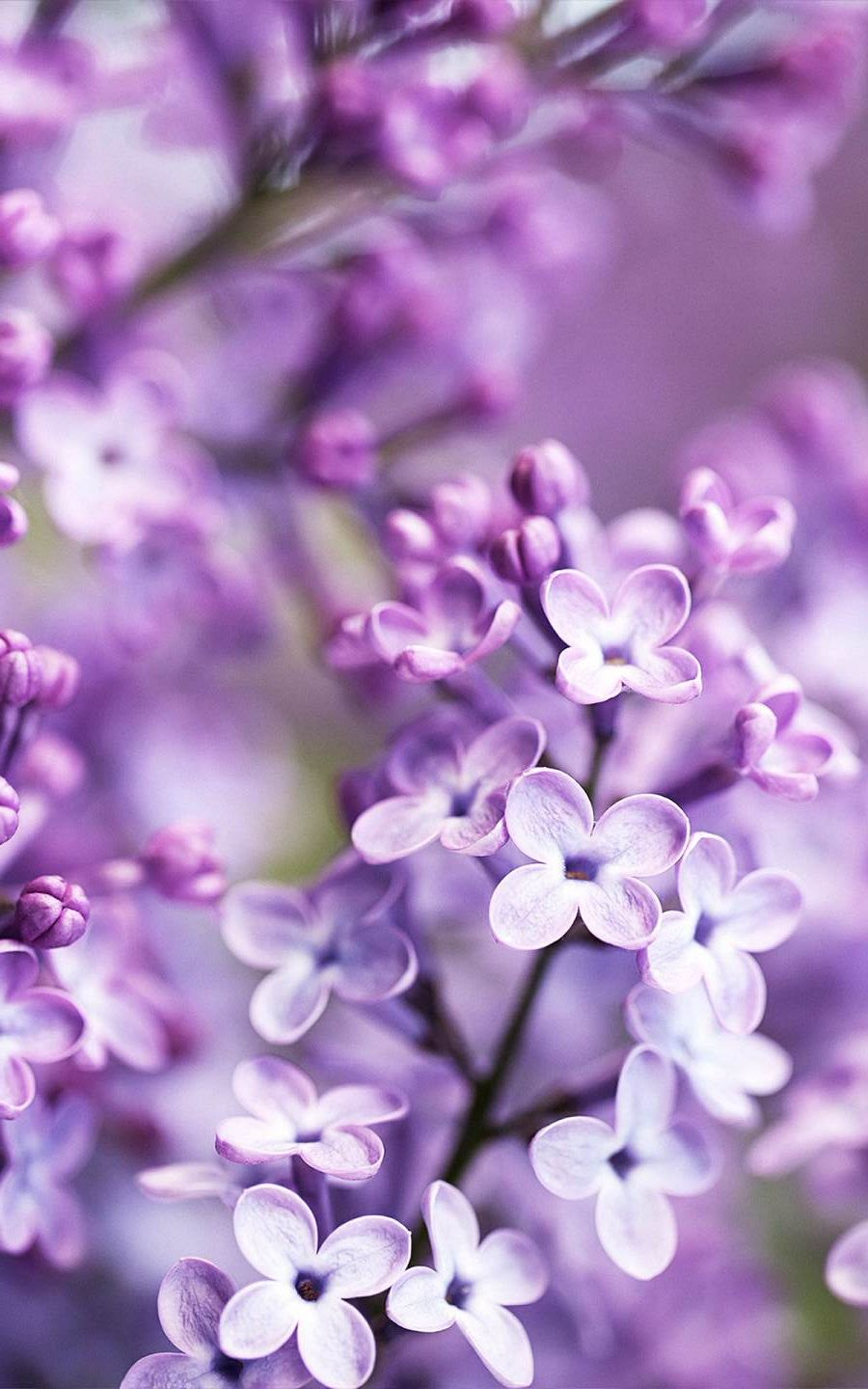 Tap To Get Free App Purple Flowers Wallpaper For Your Iphone