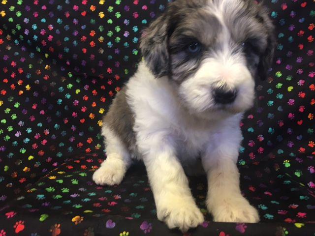 Litter Of 5 Australian Shepherd Poodle Miniature Mix Puppies For Sale In Nunn Co Adn 27902 On Puppyf Puppies For Sale Australian Shepherd Miniature Puppies