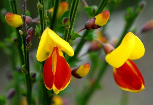 English Broom Do Not Be Fooled By Its Pleasant Exterior Or Friendly Name The Toxic Substance In Cytisus Scoparius Contains Alkaloids That Both Slow Down The H