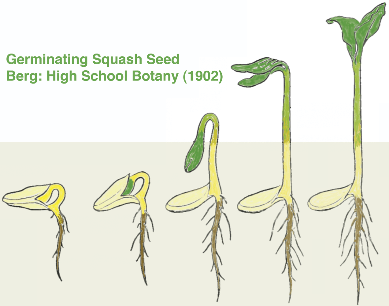 Image Result For Squash Seedling Germination
