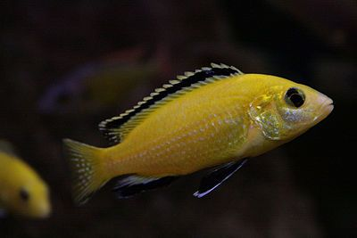 Electric Yellow Cichlid Wikipedia The Free Encyclopedia Cichlids African Cichlids Cichlid Fish