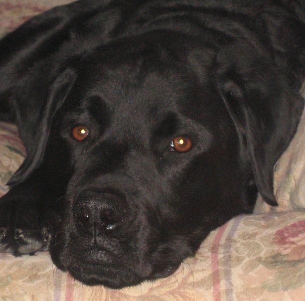 26 Unreal Labrador Cross Breeds You Have To See To Believe Mastiff Mix Cane Corso Labrador