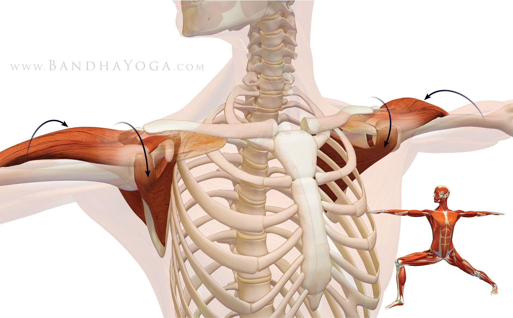 The Daily Bandha Shoulder Biomechanics Part I The Subscapularis