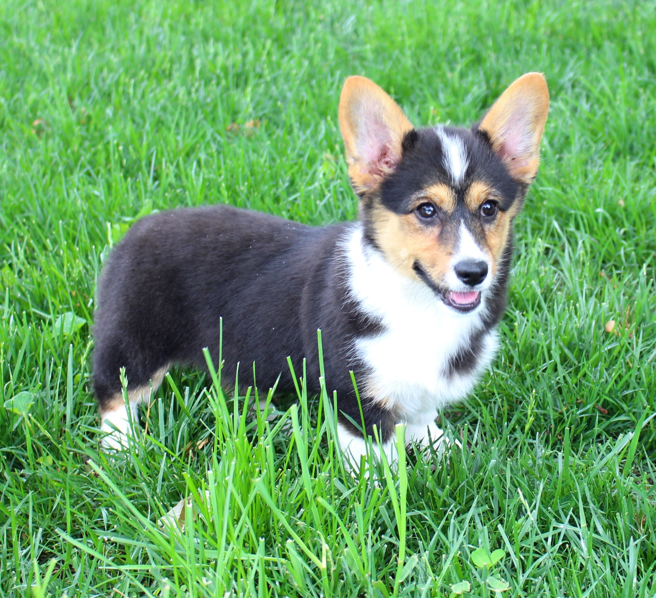 Welsh Corgi Welsh Corgi Puppies Welsh Corgi Pembroke Welsh