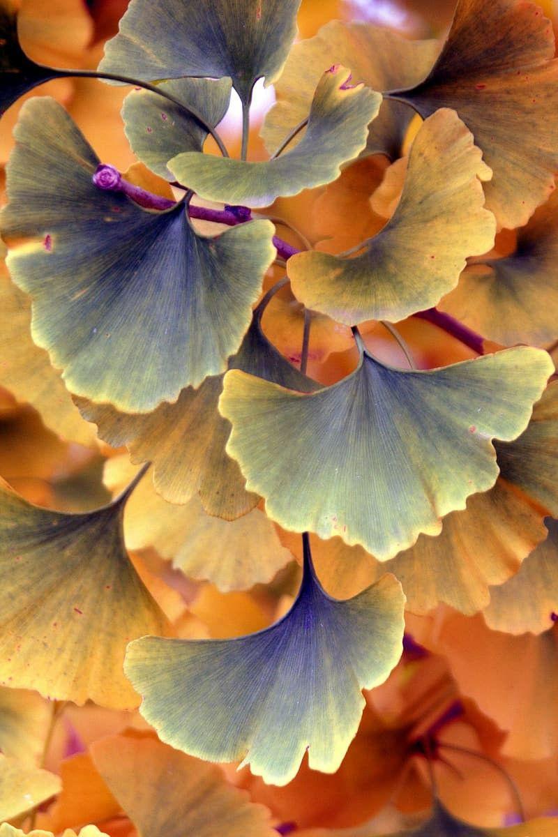 Ginkgo biloba. Maidenhair tree in 2020 Leaf photography