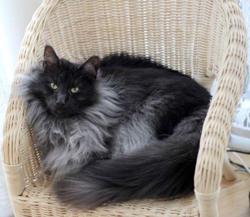 Gip Ch White Goddess S Thunder Cat Black Smoke Norwegian Forest