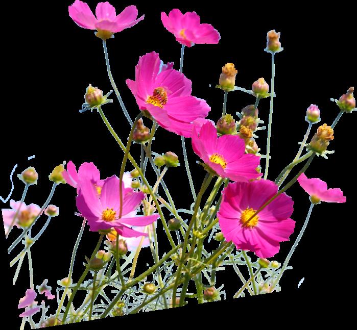 Картинка полевые цветы для детей на прозрачном фоне