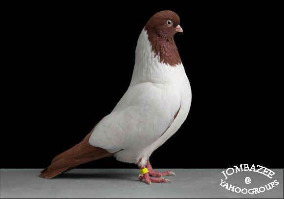 الايجيبشان سويفت الحمام الحمام الغزار انواع الحمام انواع وصور الحمام حمام شامية حمام كش حمام للكش صور حمام ص Pet Birds Beautiful Birds Pigeon Pictures