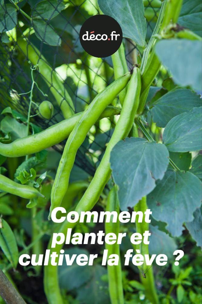 Comment planter et cultiver la fève ? en 2020 Comment