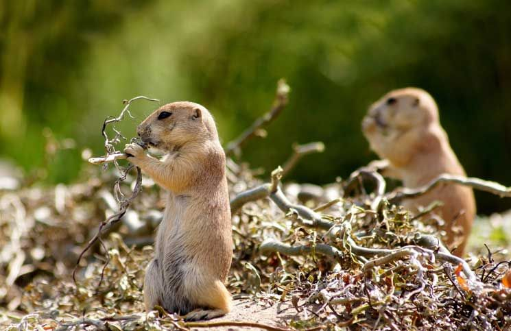 19 Home Remedies To Get Rid Of Gophers Getting Rid Of Gophers