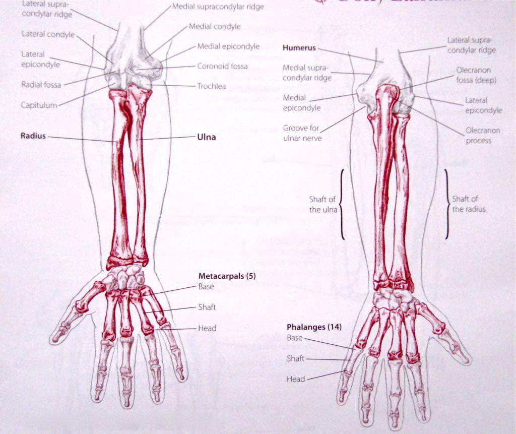 Radius ulna and palmar bone anatomy - www.anatomynote.com | Anatomy ...